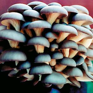 Forest Organics Blue Oyster Mushroom Growing Kit