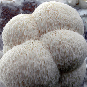 Lion's Mane mushroom home growing kit