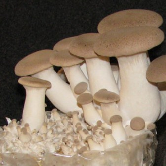 Trumpet Royale mushroom growing kit
