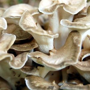 Mushroom Plugs for maitake mushroom