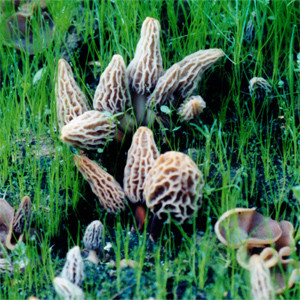 morel mushroom kits grow your own-2