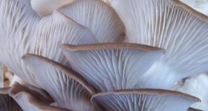 Sonoma Brown Oyster Mushrooms