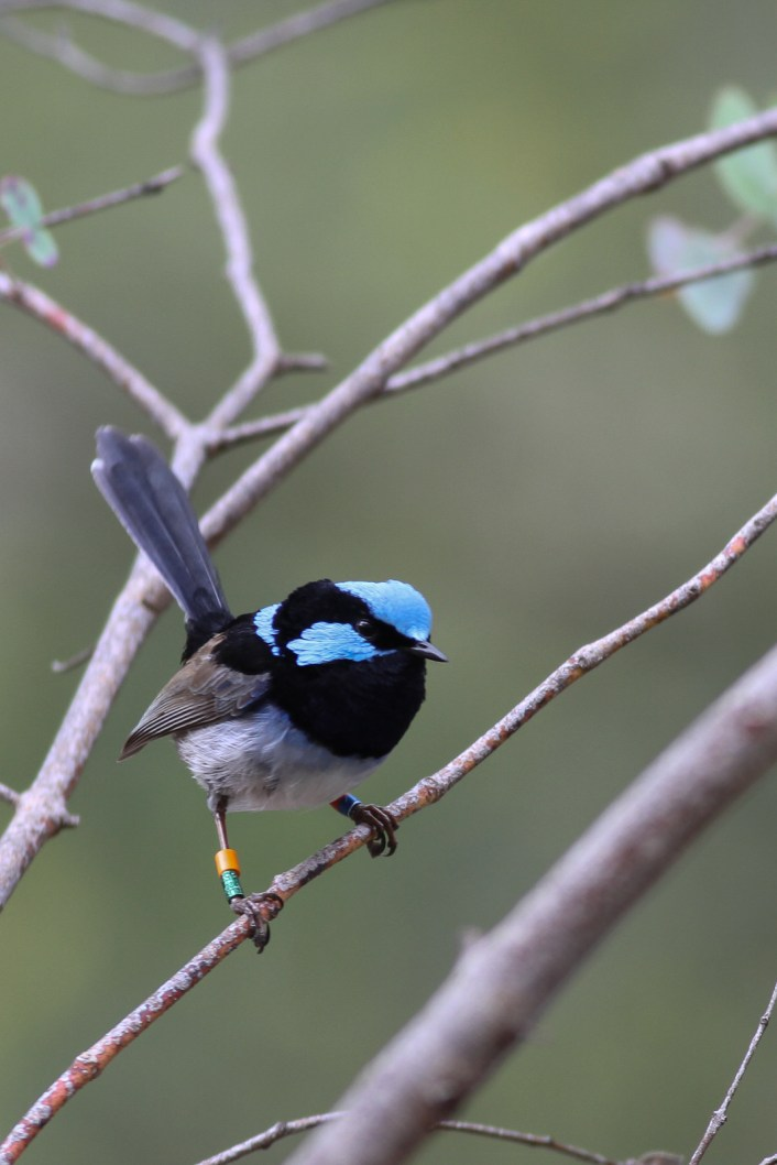 A male superb fairy-wren - we were watching for all incoming males and how they displayed for the ladies.