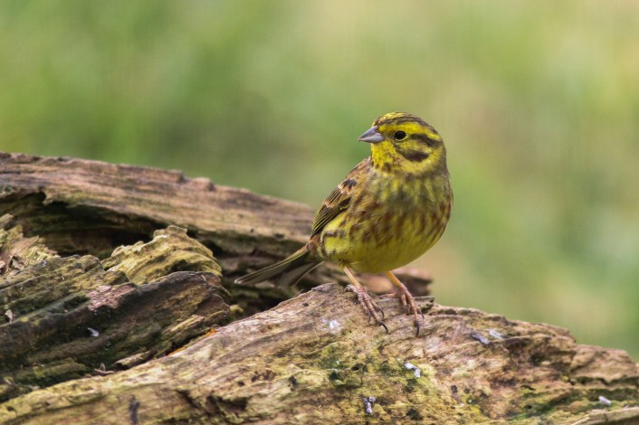 In my research, I'm looking at how different land stewardship practices, e.g. planting hedges and field margins, impact farmland birds like this yellowhammer.