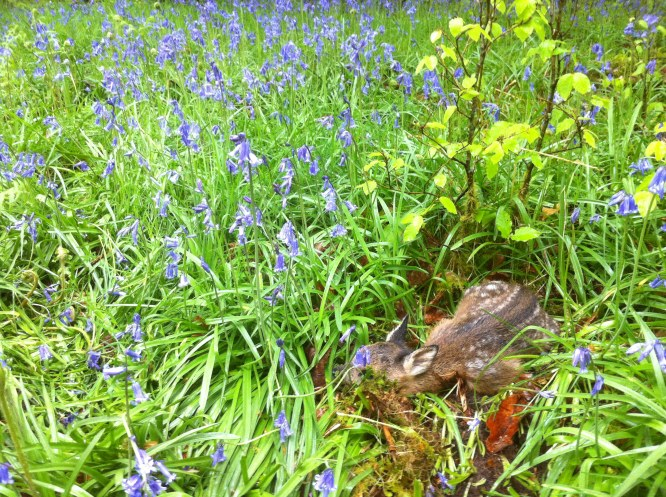 I had never seen a fawn this small, or as we called it - Bambi The Bluebell!