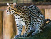 Ocelot_(Jaguatirica)_Zoo_Itatiba