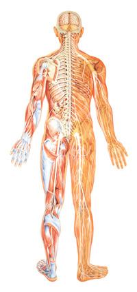 nervous-system-2