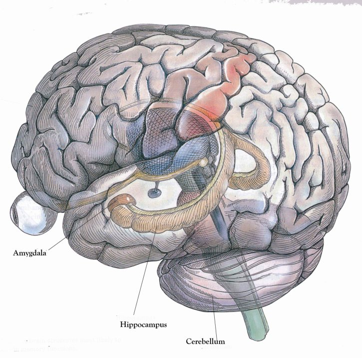 What is the hippocampus part i episodic memory and index theory source morphonix website httpmorphonixsoftwareeducation ccuart Choice Image