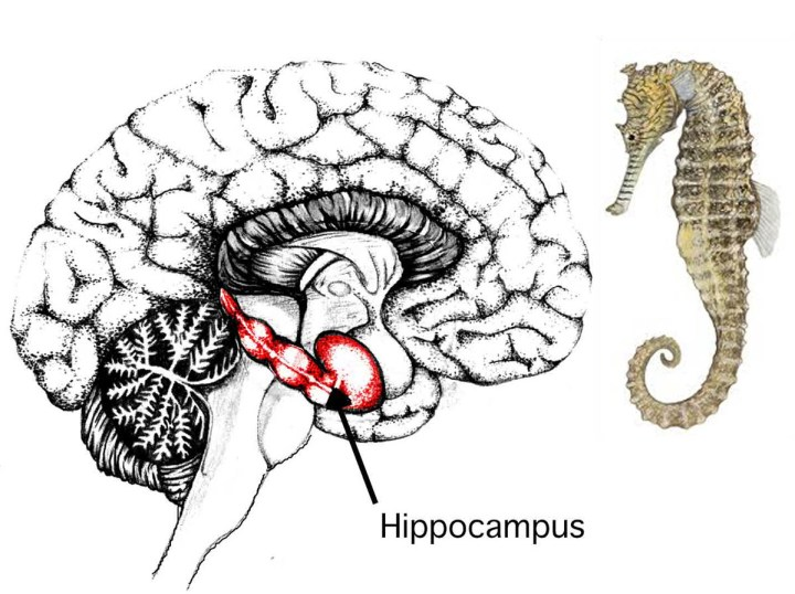 Secrets of the Pyramid Hippocampus_and_seahorse 2