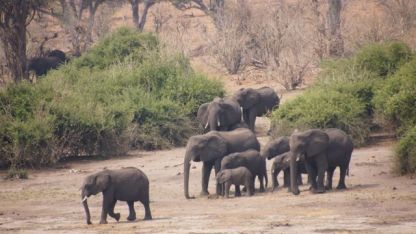 The elephants move down towards the water