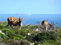 Eland grazing