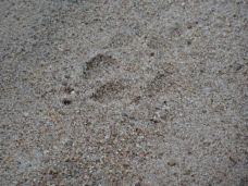 Cheetah footprints