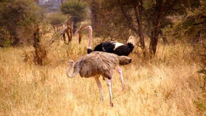 Ostrich playing up to his old tricks