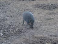 A Wart hog licking the salt near the water hole