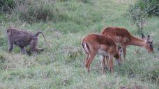 Impalla with baboon