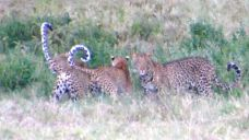 Three leopards in a day - Lyn
