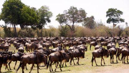 Wilderbeest gathering for migration