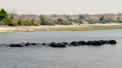 Hippopotami lazing tohether