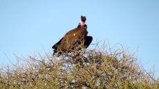 Another vulture