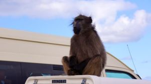 Wild Baboon taking up a good site.