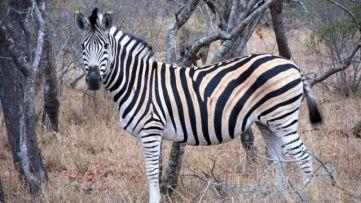 A male zebra has black and white strips. A female zebra has white and black strips