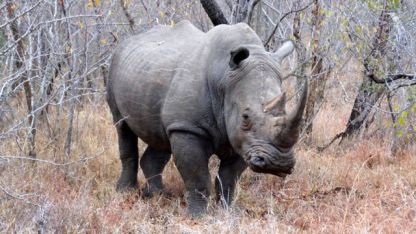Rhinoceros - One of The Big Five