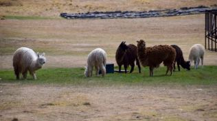 Alpacas waiting to discard the heavy load of wool
