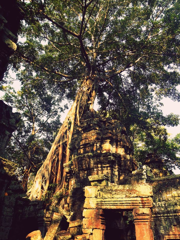 The ancient trees of Ta Prohm, Cambodia