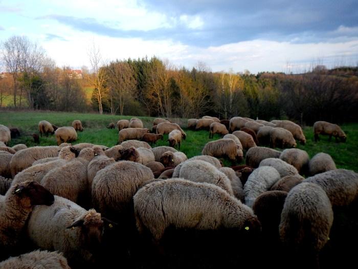 With the nomadic shepherds in Fürstenfeld, Austria