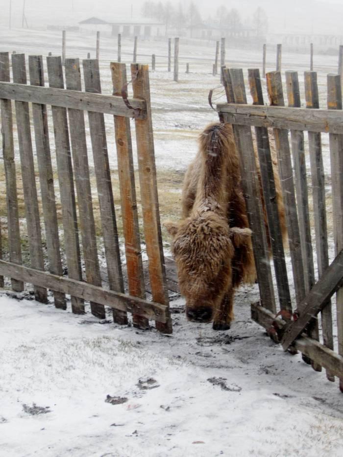 A yak, wandering around Khatgal, Mongolia
