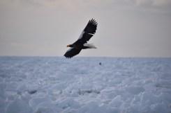 Steller's sea eagle at Rausu