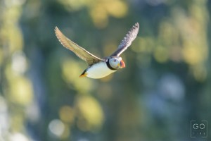 Blurry puffin