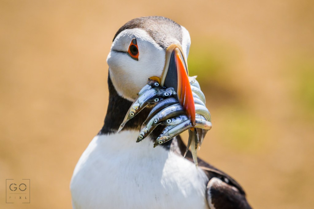 Puffin with its mouth full