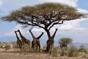 Giraffe Road to Loliondo TZ