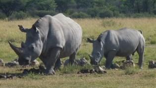 Mama and baby (white rhinos)