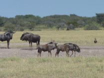 Wildebeest nursery: can you find the black-backed jackal?
