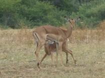 Impala mom and fawn