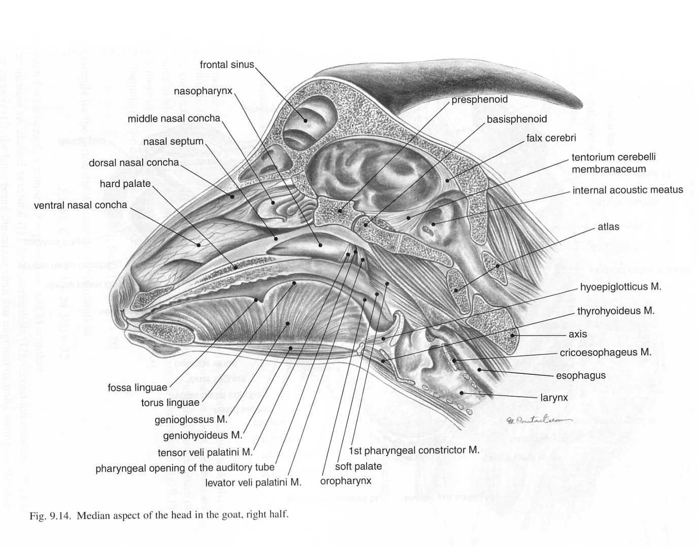 Goat Brain Anatomy