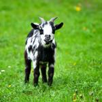 Black and white baby goat standing on green lawn