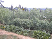 garden and sunflower