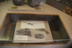 Coelophysis fossil skull