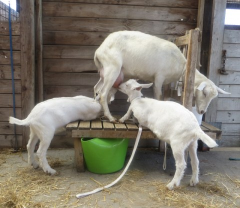 Making goat milk soap starts with milking goats. The mother shares some of the kid's milk with us.