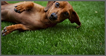 Dog playing on artificial turf