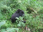 Photo Essay: The Mountain Gorillas of Rwanda