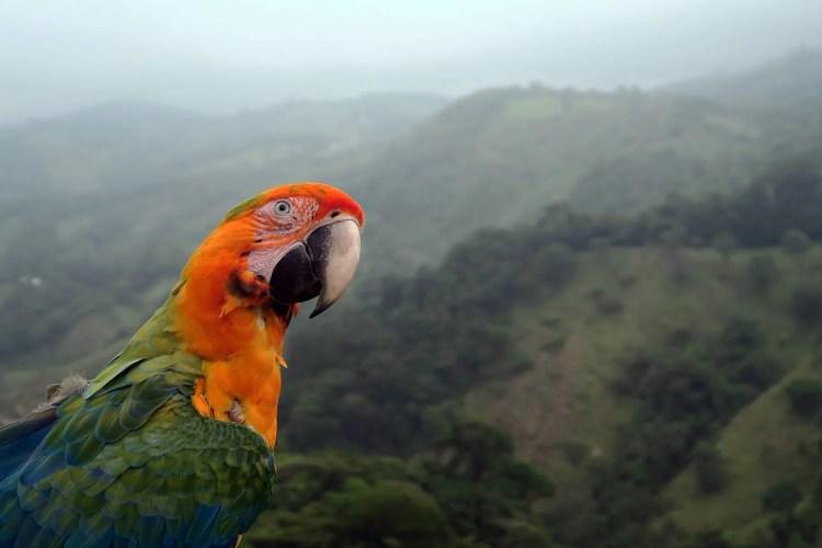 macaw-costarica