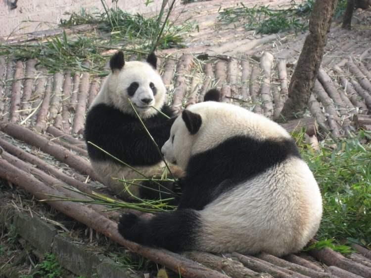Giant Pandas in Chengdu, China