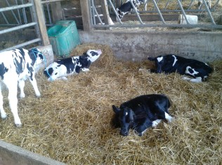Lots of calves being born lately (one has a string collar so we could tie him up while feeding the others, he was a bit of a bully).