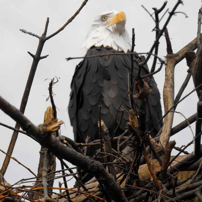life size realistic bald eagle sculpture