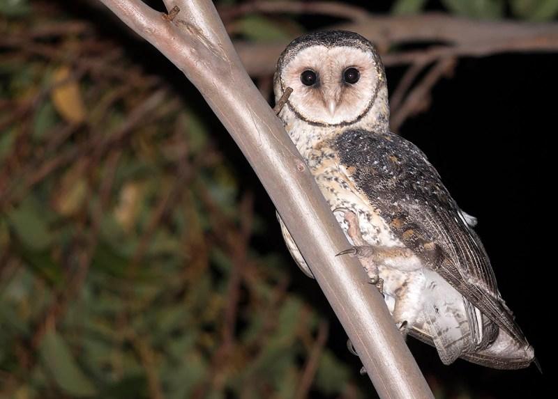 Australian Masked Owl