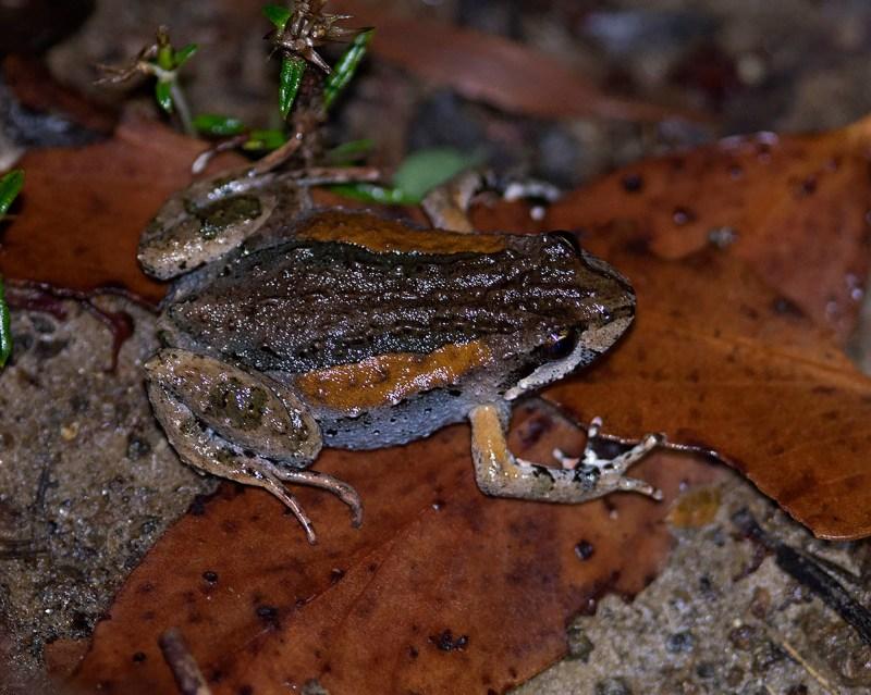 Crinia tasmaniensis